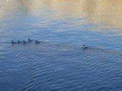Ducks on the Bay